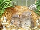 Alario alario nest