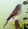 Alario leucolaemus female