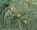 Serinus koliensis pair
