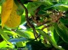 Serinus mozambicus nest