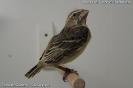 Serinus sulphuratus juvenile